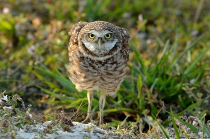 burrowing owl alert